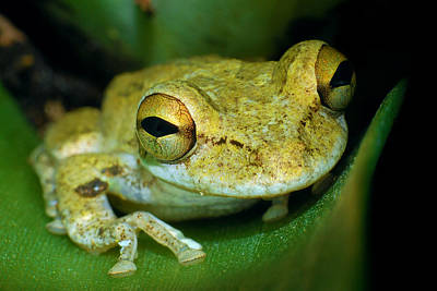 Cuban Tree Frog Poster by Larah McElroy