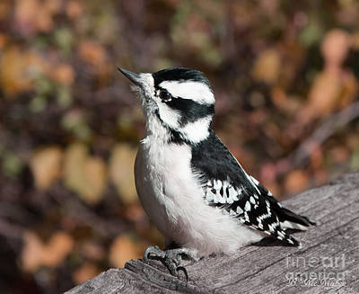 Curious Downy Woodpecker Poster by Barbara McMahon