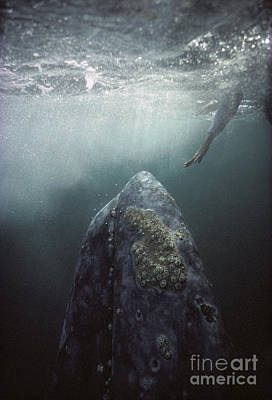 Curious Gray Whale And Tourist Poster by Tui De Roy