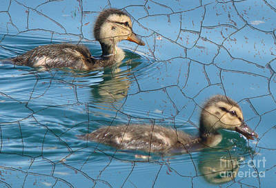 Cute Ducklings Poster by Beverly Guilliams