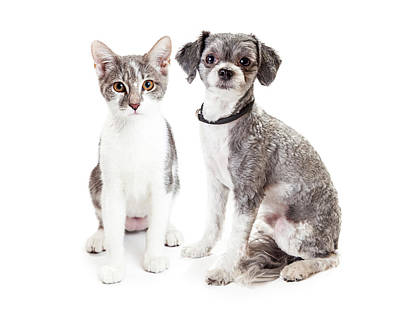 Cute Grey Kitten And Puppy Sitting Together Poster by Susan Schmitz