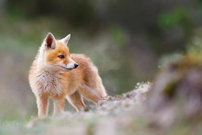 Cute Red Fox Poster by Roeselien Raimond