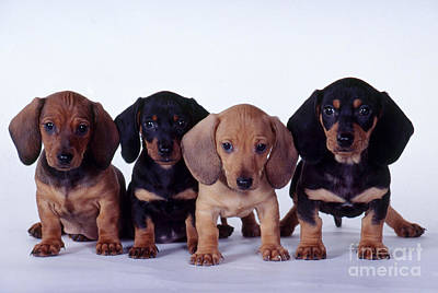 Dachshund Puppies  Poster by Carolyn McKeone and Photo Researchers
