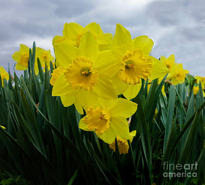 Daffodil Delight Poster by Kim Henderson
