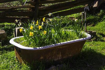 Daffodils In Bath Tub Poster by Garry Gay
