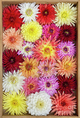 Dahlia Pattern Poster by Tim Gainey