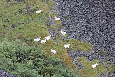 Dall Sheep On A Break Poster by David Wilkinson