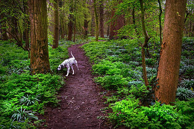Dalmatian In The Spring Woods Poster by Jenny Rainbow