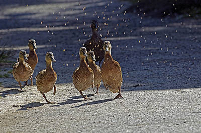 Dancing Duckies Poster by Sharon Talson