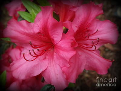 Deep Pink Rhododendrons Poster by Lingfai Leung