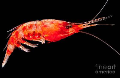 Deep Sea Shrimp Poster by Dant� Fenolio