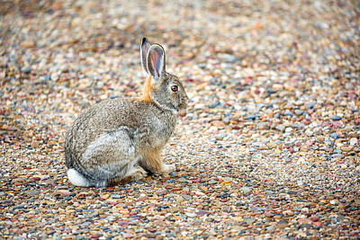 Desert Cottontail Poster by Todd Klassy