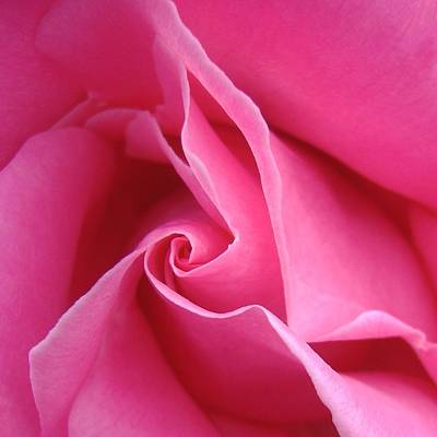 Diagonal Of Rose Poster by Jacqueline Migell