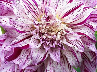 Dinner Plate Dahlia  Poster by Sharon Duguay