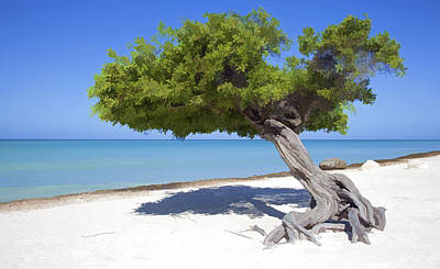 Divi Tree Of Aruba Poster by David Letts