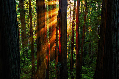 Divine Light At Redwood National Park California Usa Poster by Vishwanath Bhat