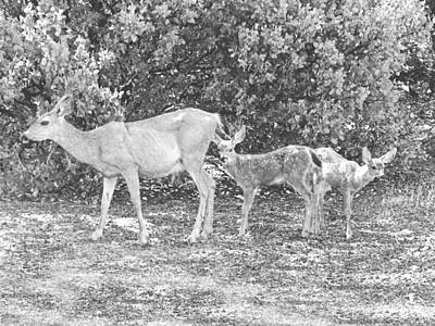 Doe With Twins Pencil Rendering Poster by Frank Wilson