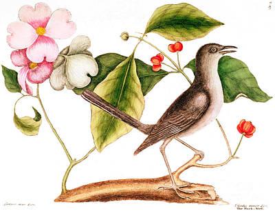 Dogwood  Cornus Florida, And Mocking Bird  Poster by Mark Catesby