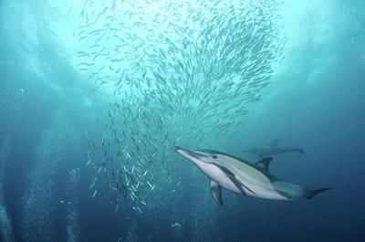 Dolphin Poster by Alexander Safonov