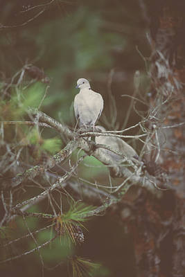 Doves In A Pine Tree Poster by Marco Oliveira