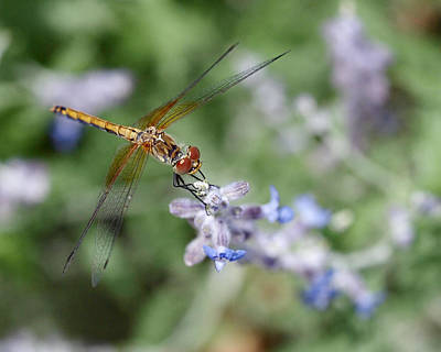 Dragonfly In The Lavender Garden Poster by Rona Black