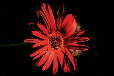 Dramatic Red Daisy Poster by Tina M Wenger