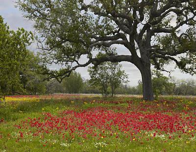 Drummonds Phlox Meadow Near Leming Texas Poster by Tim Fitzharris