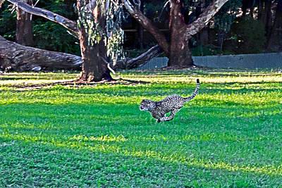 Sparkling Run For Dubbo Zoo Cheetah Poster by Miroslava Jurcik