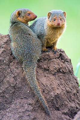 Dwarf Mongooses Helogale Parvula Poster by Panoramic Images