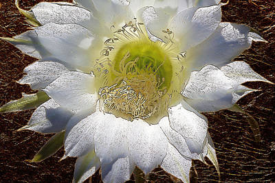 Easter Lily Cactus With Gold Leaf Look Poster by Phyllis Denton