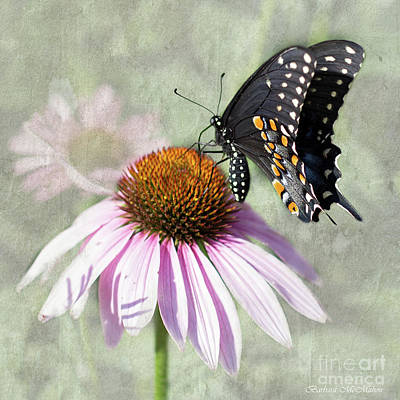 Eastern Black Swallowtail And Echinacea  Poster by Barbara McMahon