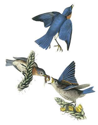 Eastern Bluebird Poster by John James Audubon