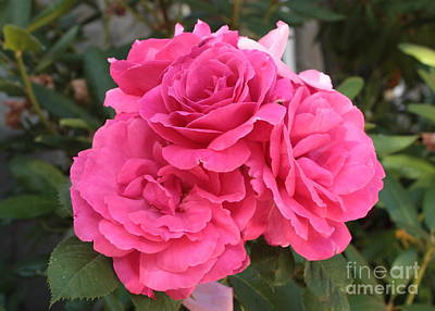 Energizing Pink Roses Poster by Carol Groenen