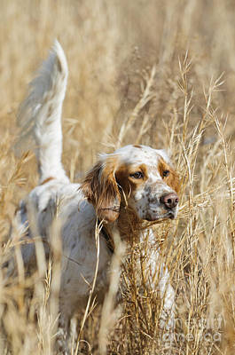 English Setter Poster by Chip Laughton