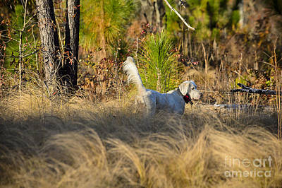 English Setter On Point Poster by Chip Laughton