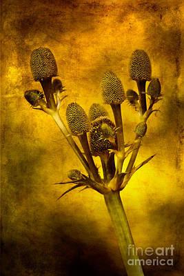 Eryngium Gold Poster by John Edwards
