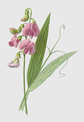 Everlasting Pea Poster by Frederick Edward Hulme