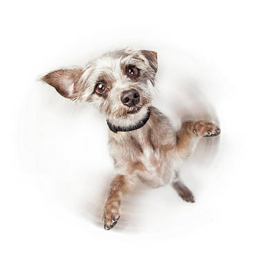 Excited Dog Spinning With Motion Blur Poster by Susan Schmitz