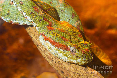 Eyelash Pitviper Poster by B.G. Thomson