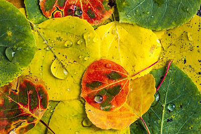 Fall Aspen Tree Leaves  Poster by Teri Virbickis