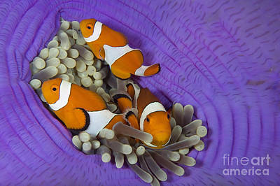 False Clownfish Poster by Franco Banfi and Photo Researchers