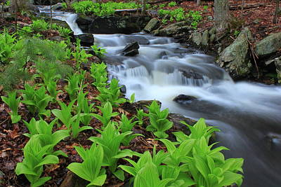False Hellebore Wildflowers Along Forest Stream Poster by John Burk
