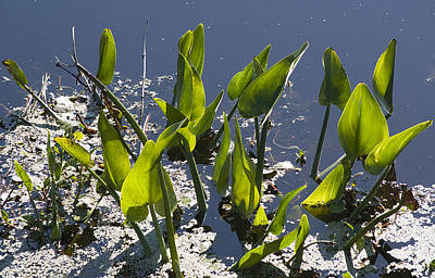 False Pickerel Weed Poster by Kenneth Albin