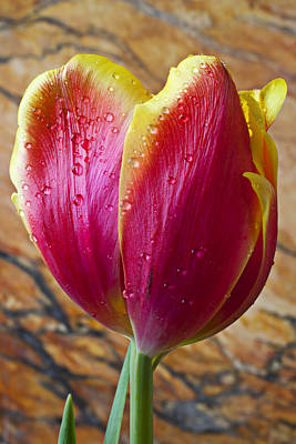 Fancy Tulip Poster by Garry Gay
