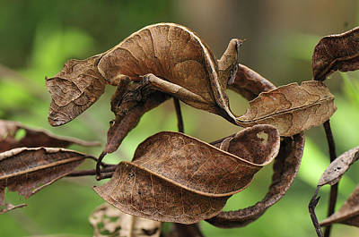Fantastic Leaf-tail Gecko Uroplatus Poster by Thomas Marent