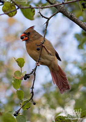 Female Cardinal With Berry Poster by Barbara McMahon