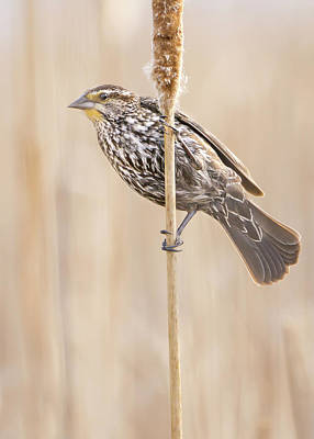 Female Red-winged Blackbird Poster by Jim Hughes