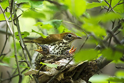 Female Wood Thrush With Chicks In Nest Poster by Christina Rollo