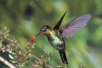 Fiery-throated Hummingbird Panterpe Poster by Michael & Patricia Fogden