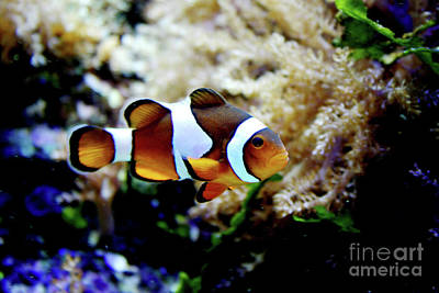 Fish Stripes Clownfish Poster by Toni Hopper
